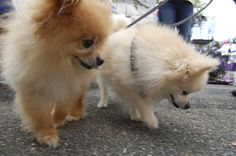 Two Pomeranians, super fluffy and full of love!