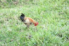 Este é um legitimo galo caipira criado somente com alimentos naturais como grama,minhocas,milho e outras ervas que ele escolhe para comer. Ainda é uma ave jovem e linda está em fase de crescimento.