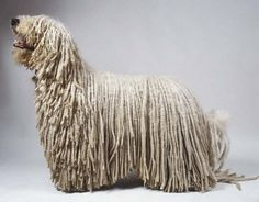 komondor dog - Google Search