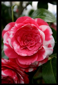 I love how over-the-top this flower is!  Camellia japonica 'Conte Bouturlin' (Italy, 1825)