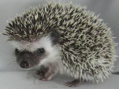 Fun Facts about Hedgehogs. He may or may not like your cat Hedgehogs can get along with other household animals like cats, dogs, or ferrets. But it is a case-by-case basis, and all interactions should be closely monitored. These animals are, after all, prey, and cats and dogs are hunters. So use caution.