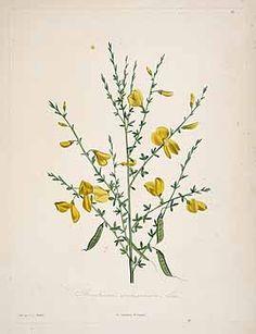 71819 Cytisus scoparius (L.) Link [as Spartium scoparium L.]  / Rousseau, J.J., La botanique de J.J. Rousseau, t. 16 (1805) [P.J. Redouté]