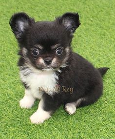 Long Hair Chihuahua - Black White Fawn Chihuahua Long Haired Chihuahua Puppies, Chihuahua Breeds, Black Chihuahua, Cute Chihuahua, Dogs And Puppies, Long Hair Chihuahua, Doggies, Cute Animal Pictures, Puppy Pictures