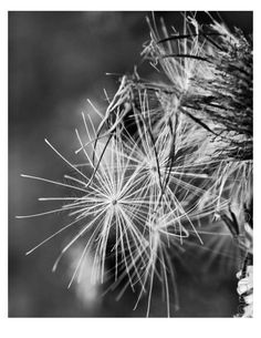 Seeds casting from Thistle  Black and White photog