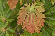 Juvenile spring leaf Fern leaf Full Moon maple (Acer Japonicum Aconitifolium) | Flickr