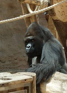 Echange de regards avec un gorille