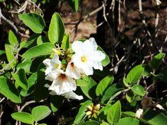 Desert Hackberry Celtis Pallida A Large Native Shrub