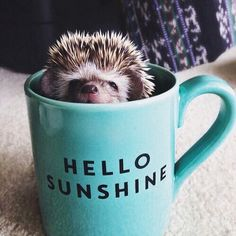25 Funny and Adorable Hedgehog Pictures That Will Make You Want One Happy Hedgehog, Hedgehog Pet, Cute Hedgehog, Cute Baby Animals, Animals And Pets, Funny Animals, Small Animals, Beautiful Creatures, Animals Beautiful