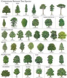 How To Identify Trees, Tree Identification, Tree Care, Landscape Drawings, Tree Leaves, Garden Planning, Trees To Plant, Garden Plants, Garden Landscaping