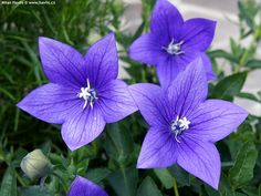 """Balloon Flower 'Astra Blue' Platycodon grandiflorus - Foliage forms a neat compact mound and the bell shaped flowers rise above to a height of 16-18"""". Cold hardy to Zone 3."""