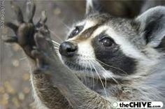 Want Want Racoon we updated this picture for your enjoyment, please check it out - Want Want Racoon Animals And Pets, Baby Animals, Funny Animals, Cute Animals, Funny Raccoons, Animal Babies, Small Animals, Squirrels, Wild Animals