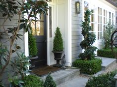 Boxwood love the spiral trimmed ones