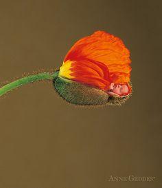 Orange Poppy Print By Anne Geddes