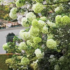 Love this plant, similar to hydrangea but easier to grow in my yard: Chinese Snowball Viburnum