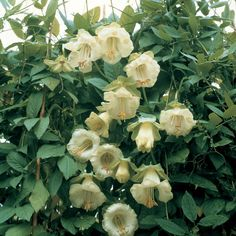 Cobaea scandens f. alba - Half-hardy Annual Seeds - Thompson & Morgan
