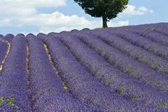 Take in the wonderful scent of the flowers as you frolic through the lavender fields in Provence, France.