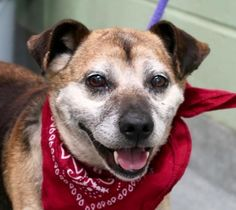 STILL LISTED. 6/15/17.  6/15/17 PRECIOUS SENIOR VICTOR LISTED TO DIE DUE BEHAVIOR !! READ HIS MEMO PLS! PERHAPS A PROPER VET IS THE SOLUTION INSTEAD OF MURDER MACC? /IJ SUPER URGENT Manhattan center VICTOR – A1114936 **SAFER: NEW HOPE ONLY** MALE, BLACK / TAN, CHIHUAHUA SH MIX, 11 yrs STRAY – EVALUATE, NO HOLD Reason STRAY Intake condition EXAM REQ Intake Date 06/10/2017, From NY 10473, DueOut Date 06/13/2017,