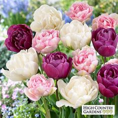 Double Late Tulip Bulbs Mix, Tulipa, Double Late Tulip Bulbs Mix