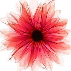 beutiful gerbera daisy watercolor tattoo