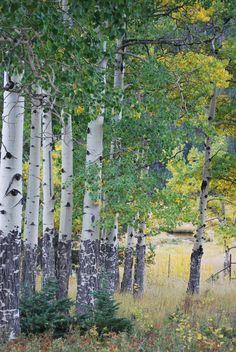 Birch Forest in Colorado