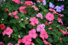 annual flowers - Google Search