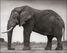 Elephant with One Tusk, Amboseli 2012 by Nick Brandt