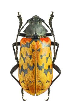 Poecilopoplus batesi C