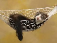 cat nursing ferret - Google Search