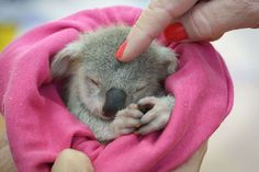 """An adorable baby koala is seen enjoying a snooze after a traumatic start to life. The baby koala, nicknamed """"Blondie Bumstead"""", is being cared for by a volunteer from the Ipswich Koala protection society in Queensland after her mother was killed by a dog. Blondie, who was named for her light fur, was given just a 50-50 chance of pulling through after the attack. (Photo by Jamie Hanson/Newspix/REX Features)"""