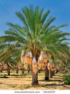 The date palm tree is highly versatile. They are beautiful looking- making it terrific in landscapes and super fruit producer for commercial production. Fruit Plants, Fruit Garden, Garden Trees, Tropical Garden, Tropical Plants, Vegetable Garden, Tropical Fruits, Palm Tree Fruit, Fruit Trees
