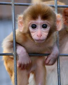 Sundance, the baby monkey Cute Baby Monkey, Pet Monkey, Cute Little Animals, Cute Funny Animals, Funny Monkeys, Baby Animals Pictures, Animals And Pets, Funny Monkey Pictures, Orang Utan