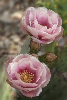 Pink prickly pear cactus bloom
