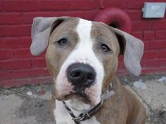 TO BE DESTROYED  MON,  1/27/14  Brklyn Ctr -P   GINGER  A0989749  Female br brindle & white american staff mix  3 YRS old Wt 67.1 LBS.   I came in the shelter as a OWNER SUR on 01/16/2014 ~ House/paper trained and gets along well with children/ people/ strangers.  She loves to be pet, and sits on command. Very friendly and playful! Takes treats gently, and walks nicely on leash She seems fine around other dogs. PLEASE help this great girl find her way to her forever home!