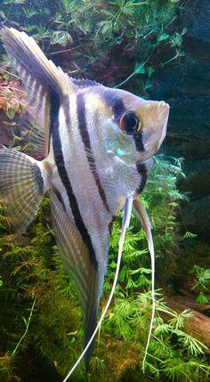 Maanvissen zijn vreedzame vissen die in groepen leven. Van nature komen ze voor in warm en schemerig, langzaam stromend water tussen boomwortels en planten. Dit water is zacht en een beetje zuur. Door zijn vorm is de maanvis erg wendbaar en kan hij gemakkelijk tussen planten en wortels door zwemmen. Maanvissen zwemmen niet snel en houden niet van sterk stromend water omdat ze dan worden meegesleurd. Door hun verticale strepen vallen ze niet op tussen de waterplanten.
