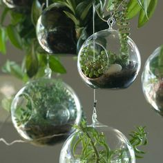Furniture: Entrancing Furniture Design Idea In Small Interrarium Plant With Glass Ball Vases And Unique Green Plants For Interior Furniture: Good Looking Furniture Design With Wall Hanging Mount And Complete Terrarium Ideas For Your Fresh Room Mini Terrarium, Miniature Terrarium, Glass Terrarium Containers, Hanging Glass Terrarium, Air Plant Terrarium, Hanging Planters, Green Plants, Air Plants, Terraria