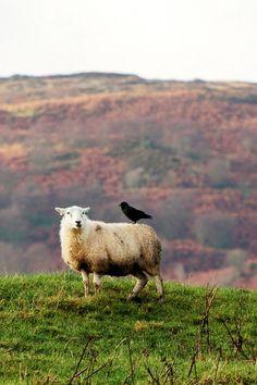 You've seen it here -- a bird riding a sheep!