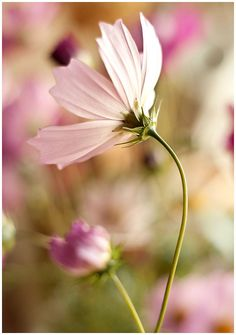 Floral wall art cosmos flowers pale soft by IonAnthosPhotography, $25.00