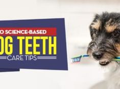 11 Science-Based Dog Teeth Care Tips Pregnant Dog, Teeth Care, Dog Teeth, Dog Ear Mites, First Aid For Dogs, Dog Tear Stains, Overweight Dog, Dog Wheelchair, Dog Grooming Business