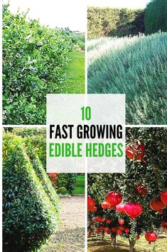 Garden hedges provide more than just structure and privacy – they can also reward you with edible fruits and leaves. Consider these varieties of fast growing fruit bearing hedge trees, and other fragrant hedging plants for the ultimate edible hedge!