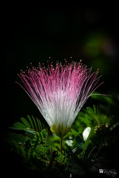 Calliandra http://fc-foto.com/31244392