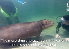A Premature Baby Hippo Meets Underwater Divers