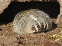I dub thee mr. pudge the awesome squishy badger :)