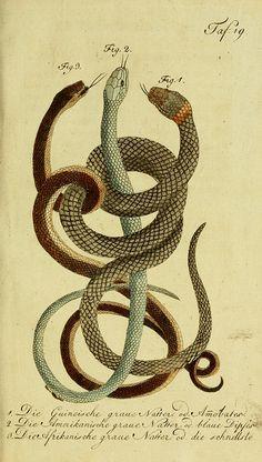 Herrn de la Cepede's Naturgeschichte der Amphibien, oder der enerlegenden vierfussigen Thiere und der Schlangen :. Weimar :Verlage des Industrie = Comptoir's,1800-1802..