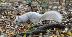 Extremely Rare White Squirrel Spotted In The UK