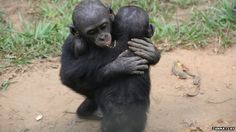 Young bonobos comfort by hugging Also: Bonobo: The Forgotten Ape/The New York Times http://www.nytimes.com/books/first/d/dewaal-bonobo.html