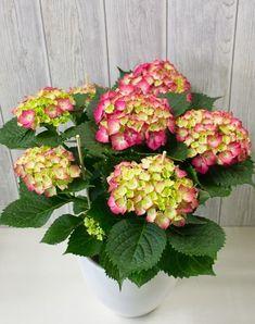 Ορτανσία | Συμβουλές → Φροντίδα → Περιποίηση | eflowers.gr Flower Pots, Flowers, Garden Guide, Trees To Plant, Vegetable Garden, Seeds, Floral Wreath, Crochet Patterns, Wreaths
