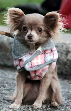 Named in honor of the state of Chihuahua in Mexico, the Chihuahua has the prestige of being the smallest breed of dog in the world. One of the most popular breeds around the world, the Chihuahua – … Cute Chihuahua, Chihuahua Puppies, Cute Puppies, Cute Dogs, Dogs And Puppies, Doggies, Merle Chihuahua, Chihuahua Clothes, Pomeranian