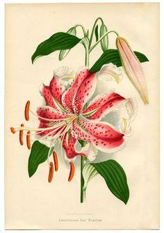 Botanical - Lily