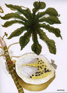 Papaya with Caterpillar Maria Sibylla Merian Reproduction  Botanical Print