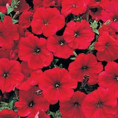 Petunia Frenzy Red (6 'Must Have' Plants)